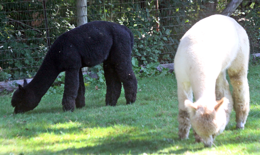 . Here two males graze at the Harvard Alpaca Ranch. SUN Photo by David H. Brow