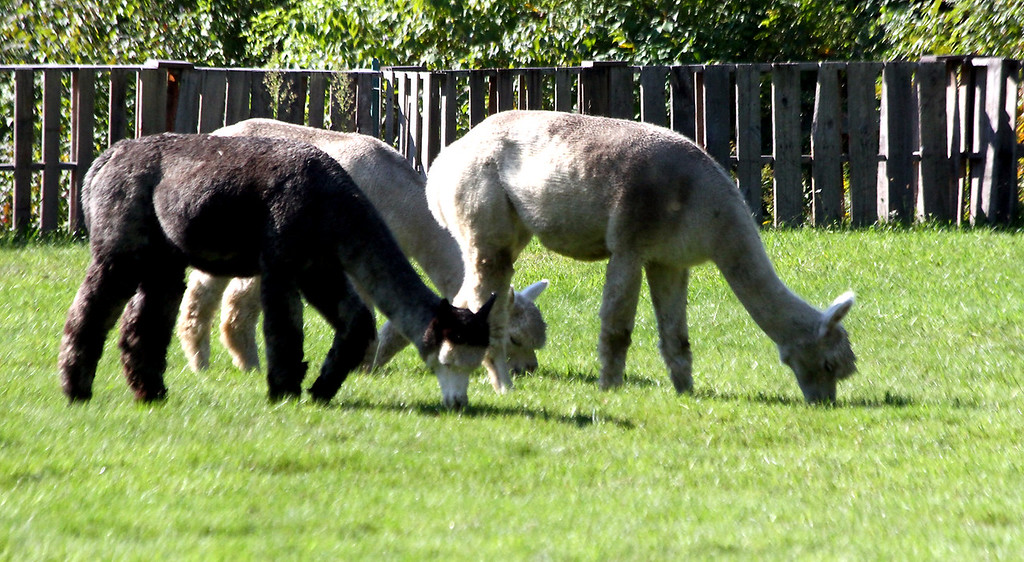 . A group of female Alpaca\'s graze on the Harvard Alpaca Ranch during the farms first year open house. SUN Photo by David H. Brow