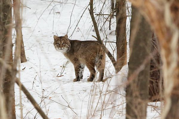 Bobcat_8688-cropped
