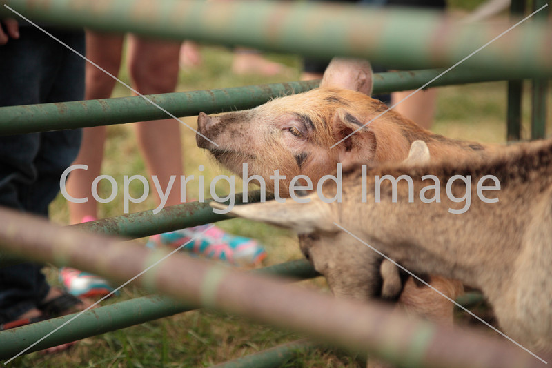 Lions_5059