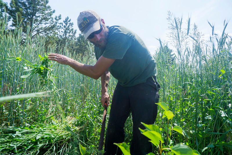Harvest Farm is home to several invasive species of plants that must be cleared in order for the planted crops to grow. Kelly Ballantyne clears weeds on Tuesday June 21, 2016 and wheat from trees that were planted in order to create a windbreak for the crops on the farm.<br /> <br /> Photo by Michael Ortiz/ Loveland Reporter-Herald