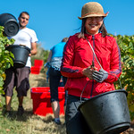 Pinot Noir grape harvest at Les Buis du Chardonnet Winery, Lieu Dit, Cogny, Beaujolais, France on Saturday, September 21, 2019.