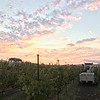 A picturesque start to the Napa Valley Harvest.<br /> <br /> Image courtesy of the Napa Valley Grapegrowers