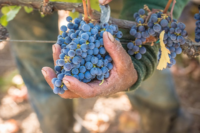 Most of Napa Valley's wine grapes are harvested by hand to ensure the best quality for winemaking. Photo by Bob McClenahan for Napa Valley Vintners.