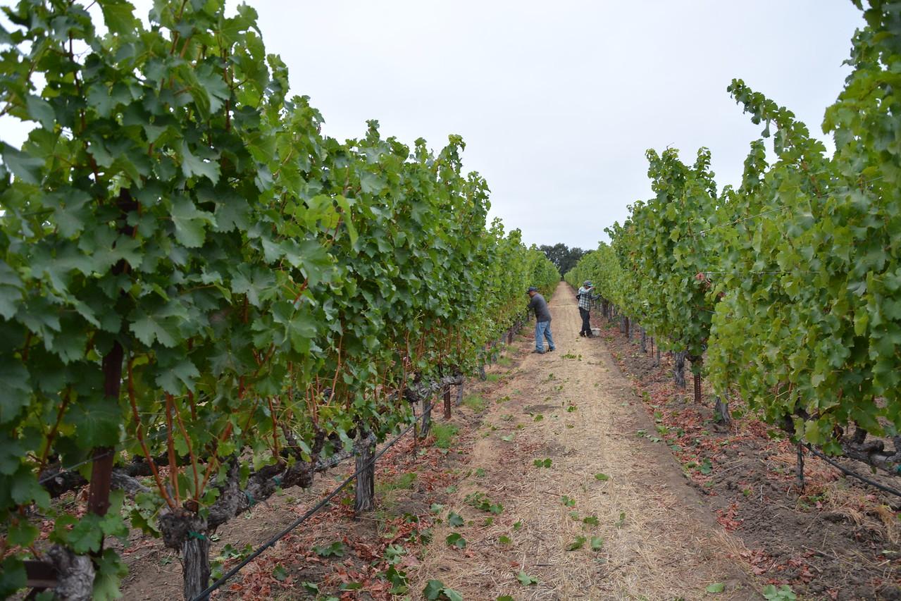 Sauvignon Blanc Harvest at Honig Vineyard & Winery
