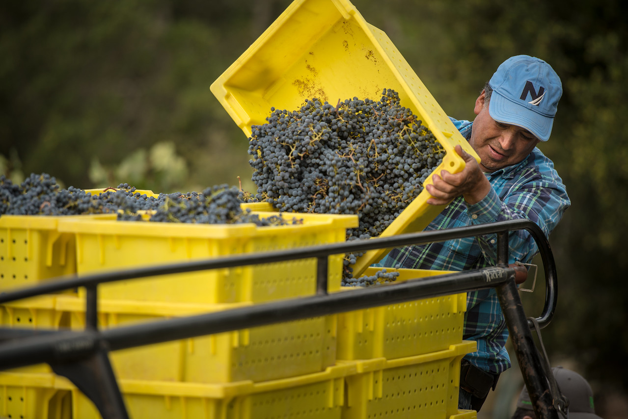 """A harvest crew member brings in grapes in a """"friendly"""" yellow bin. Photo by Bob McClenahan for Napa Valley Vintners."""