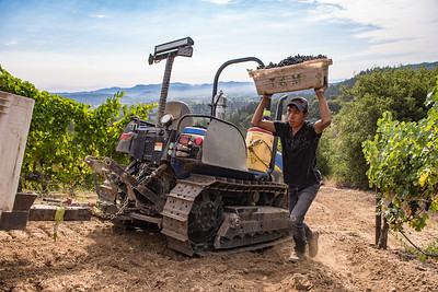 Grapes being picked at one of Napa Valley's hillside vineyards. Photo by Bob McClenahan for Napa Valley Vintners.