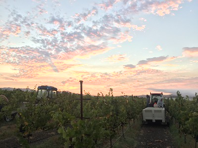 A picturesque start to the Napa Valley Harvest.  Image courtesy of the Napa Valley Grapegrowers