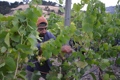 Let the picking begin - Napa Valley Harvest 2014