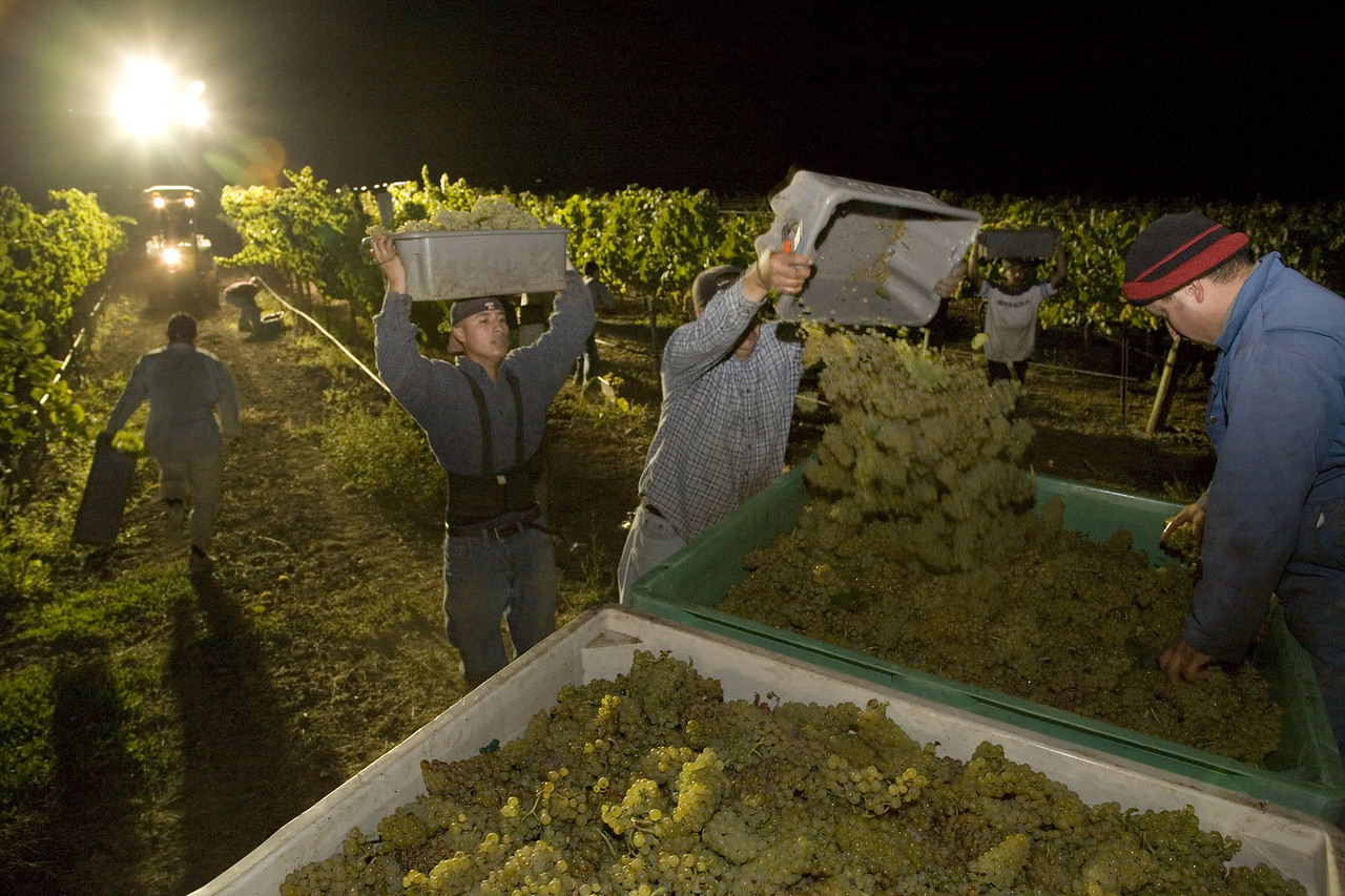 A late-night harvest of Chardonnay. Photo by Jason Tinacci / Napa Valley Vintners