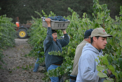 Eyes on the prize - Napa Valley Harvest 2014