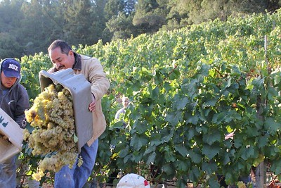 The beginning of the Napa Valley wine grape Harvest.  Image courtesy of the Napa Valley Grapegrowers