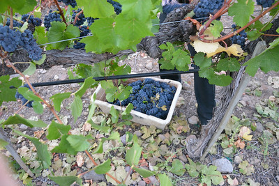 Napa Valley Harvest 2014 Begins