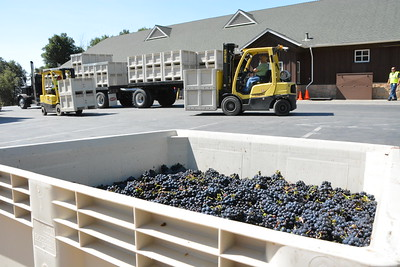 First grapes of Harvest Napa Valley 2016 rolling in at Mumm Napa Valley.  Photo by Tony Albright for Napa Valley Vintners