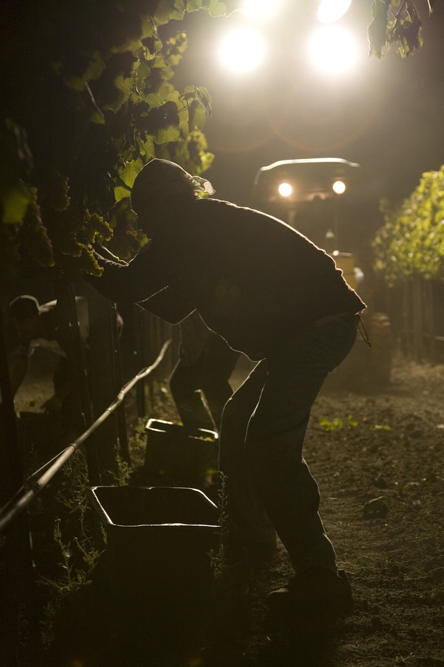 Lights on a tractor create a surreal scene as a vineyard worker harvests Chardonnay in the cool of the night. Photo by Jason Tinacci / Napa Valley Vintners
