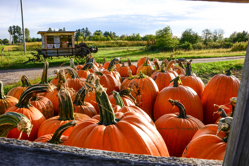 Wisconsin Wolf Stemmed Pumpkins