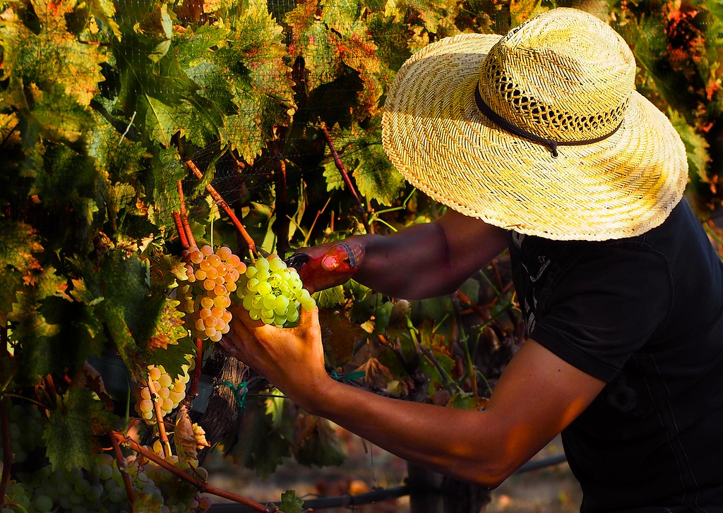 Harvest Troon Vineyard Estate Vermentino Harvest 2016