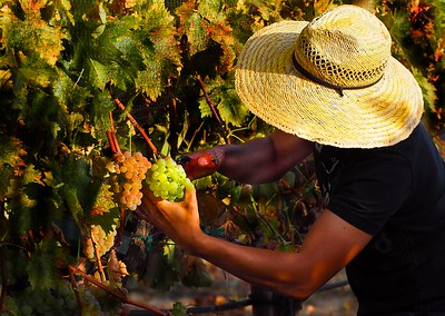 2016 Oregon Harvest, Troon Vineyard Applegate Valley