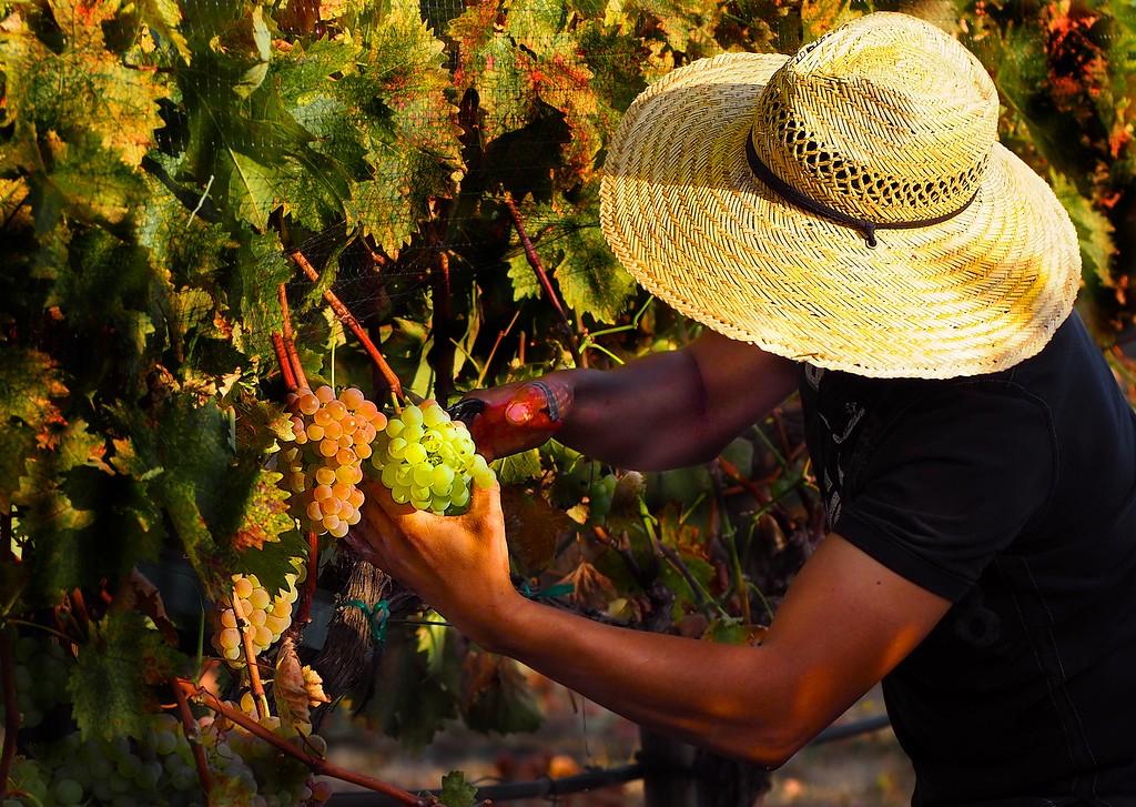 Harvest Troon Vineyard Estate Vermentino Harvest 2016
