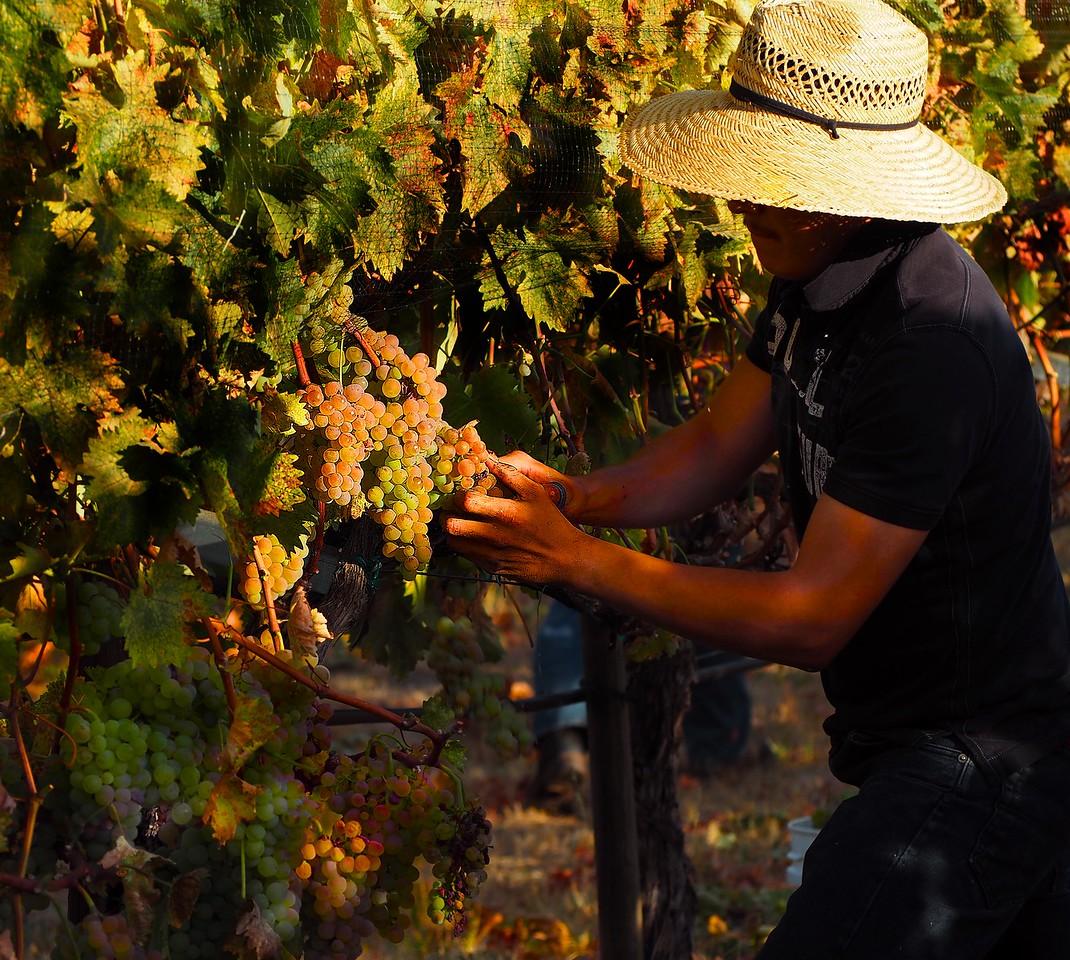 Harvesting Estate Vermentino 2016