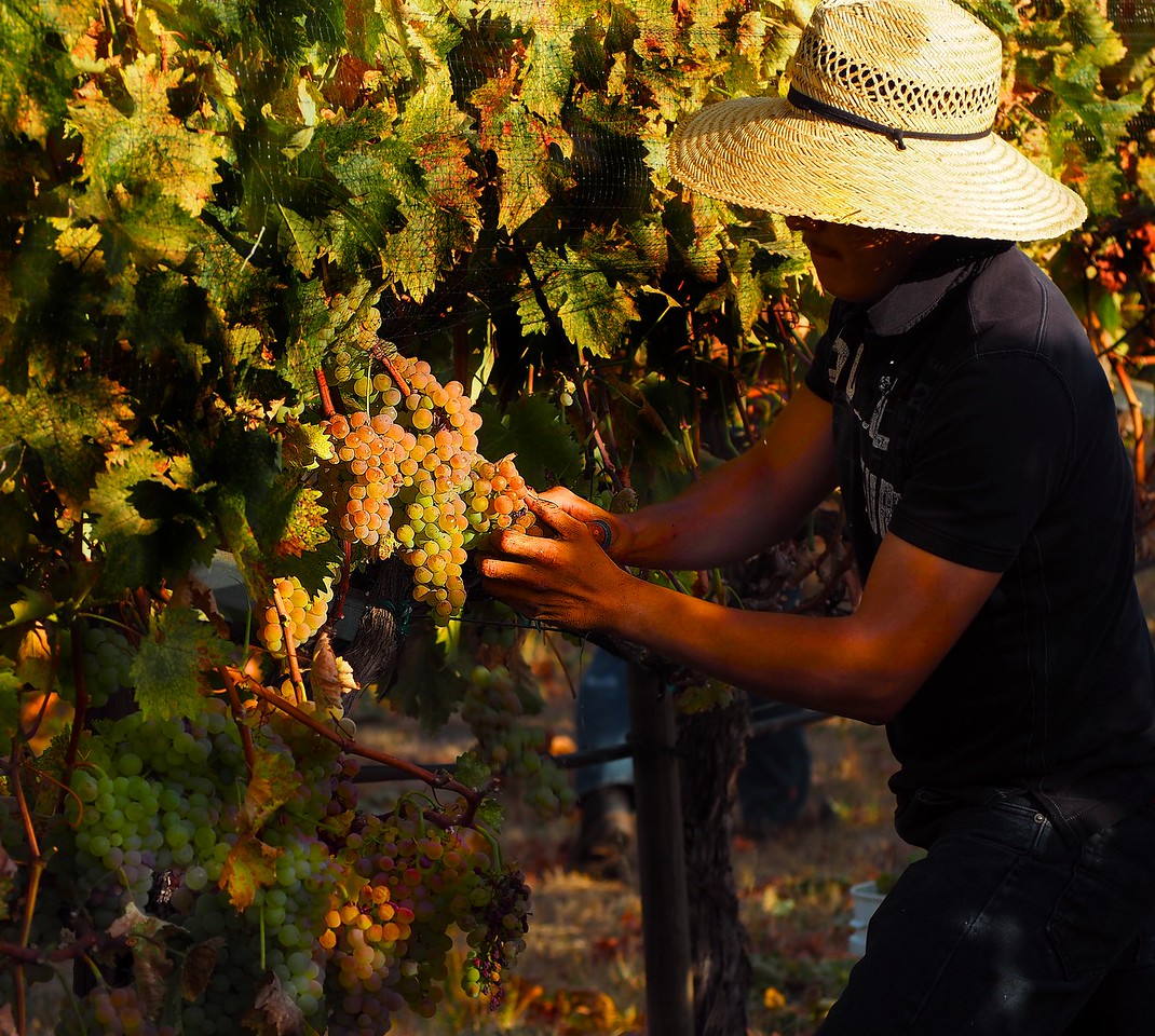 Harvesting Estate Vermentino 2016