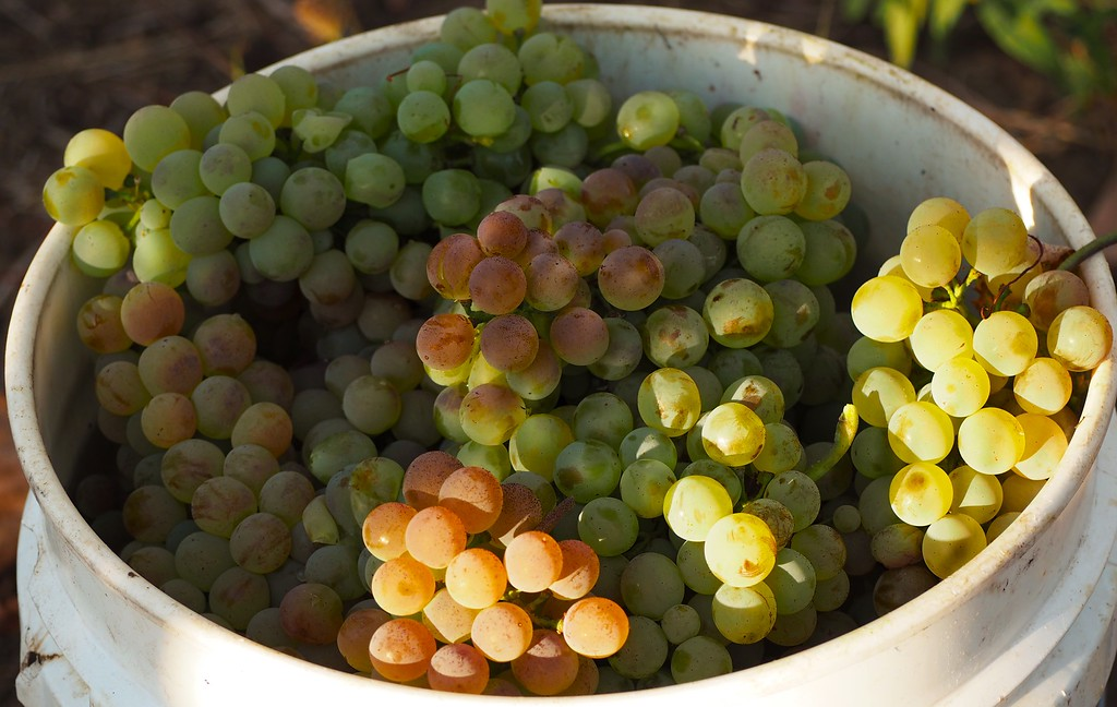 Just Picked Estate Vermentino