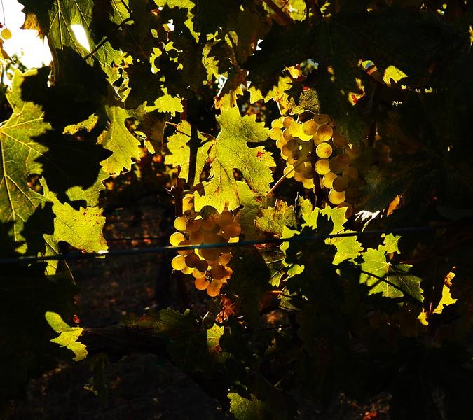 Harvest Troon Vineyard Applegate Valley Oregon 2016