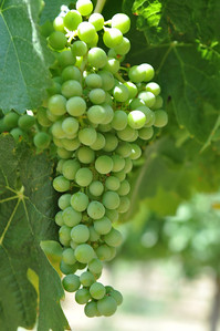 Betz Family Winery Harvest 2011