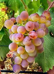 2017 Troon Vineyard Harvest, Applegate Valley, Oregon