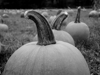 Pumpkin Patch Bellport, New York