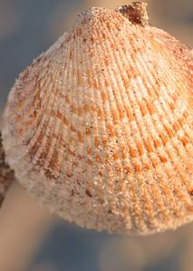 A shell in the sun.... Captiva Island, Florida