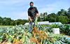 KRISTOPHER RADDER — BRATTLEBORO REFORMER<br /> Jesse Kayan, co-owner of Wild Carrot Farm, a CSA in Brattleboro, Vt., uses a knife to cut the leaves off from a stalk of Brussel sprouts on Thursday, Sept. 17, 2020.