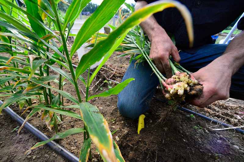 KRISTOPHER RADDER — BRATTLEBORO REFORMER<br /> Jesse Kayan, co-owner of Wild Carrot Farm, a CSA in Brattleboro, Vt., harvests ginger inside their greenhouse on Thursday, Sept. 17, 2020. This is the first time they have grown ginger on the farm.