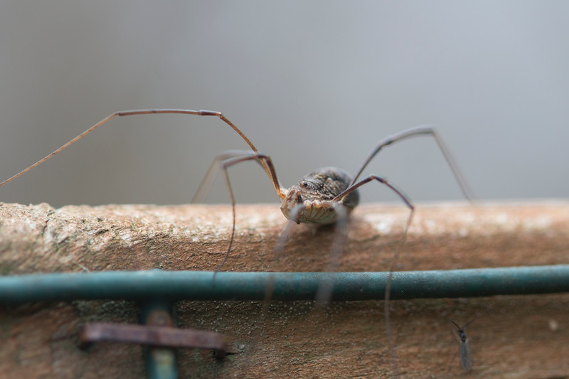 Unidentified Harvestman (Opiliones)