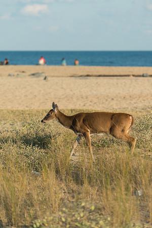Deer on the beach!