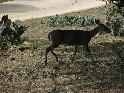 Baby deer at Trois