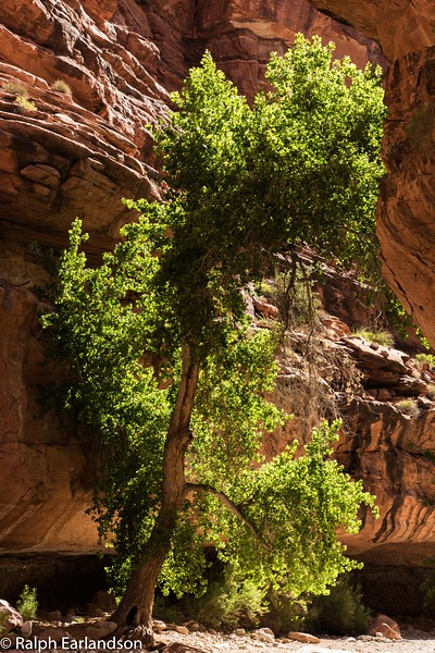 A cottonwwood tree in Havasu Canyon.