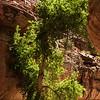 A cottonwwood tree in Havasu Canyon.