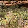 Prickly pear cactus in Havasu Canyon.