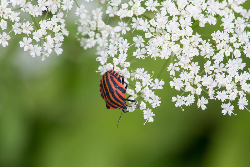 20 Graphosoma lineatum 04