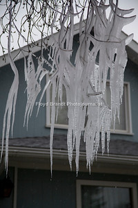 Havre Daily News/Floyd BrandtHavre residents thought winter had returned with large icicles hanging from the trees at 929 3rd Avenue Monday. What looked like a magical ice sculpture was just a mistake by resident Jake French. French said he forgot to turn the sprinklers off Sunday night and when he left for class in the morning he found what left Havre residents scratching their heads, wondering why there was only this much ice in French's yard. French said that social media lit up with discussion about his yard and people had been driving by, stopping to take pictures and that some were driving around the block to take a second look.