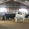Havre Daily News / Floyd Brandt<br /> <br /> 4H / FFA Senior Beef Showing Blain County Fair Saturday,