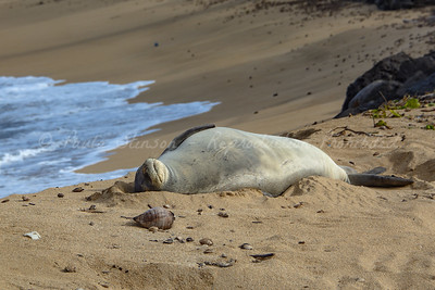 Sleeping Endangered Hawaiian Monk Seal