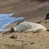 Sleeping Endangered Hawaiian Monk Seal