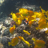 5/21/14 - Mauna Lani Beach - Achilles Tang and Yellow Tang
