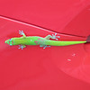 5/20/14 - Gold dust day gecko