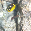 5/21/14 - Mauna Lani Beach - Fourspot Butterflyfish and Ornate Wrasse