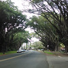 Banyan trees in Hilo