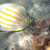 5/21/14 - Mauna Lani Beach - Ornate Butterflyfish