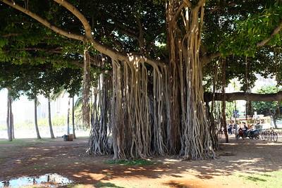 Another impressive banyan, Waikiki